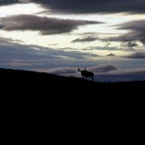 Bull Moose silhouetted against an evening sky. Denali National Park.