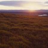 Horsetail thickets capture the rays of the midnight sun. Noatak National Preserve.