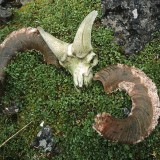 Dall sheep cranium and decomposing horns, Endicott Mountains, Gates of the Arctic National Park.